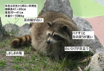 アライグマの画像 p1_27