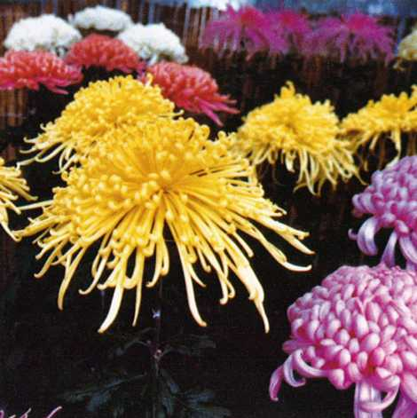 菊の画像 p1_38